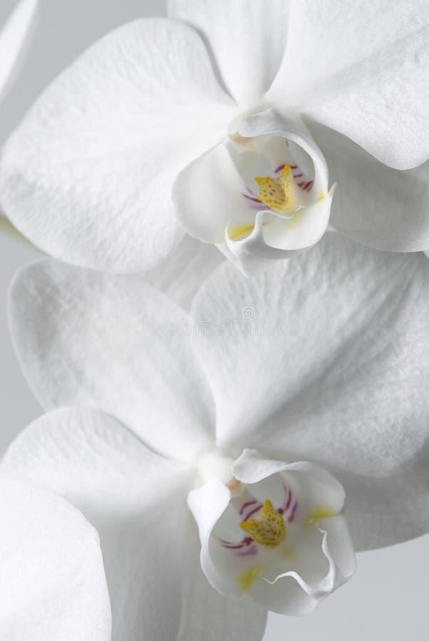 orchids λευκό στοκ φωτογραφίες με δικαίωμα ελεύθερης χρήσης