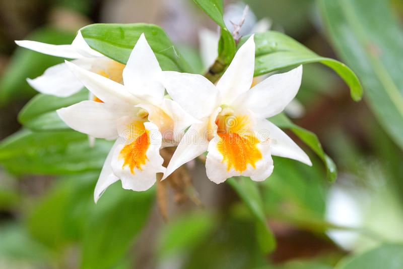 orchids λευκό Cruentum Dendrobrium στοκ φωτογραφίες