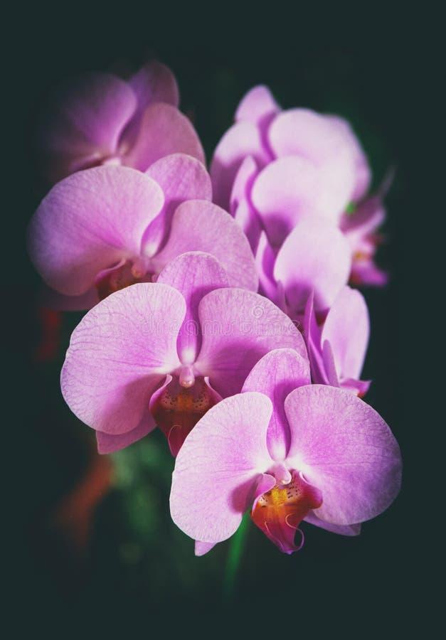 orchids πορφύρα επάνθιση στοκ εικόνες με δικαίωμα ελεύθερης χρήσης