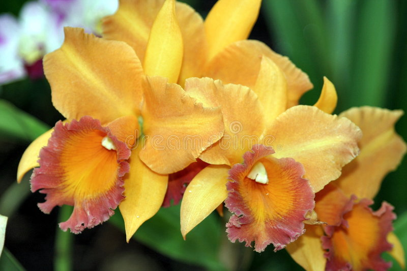 Orchids- 1 stock photography