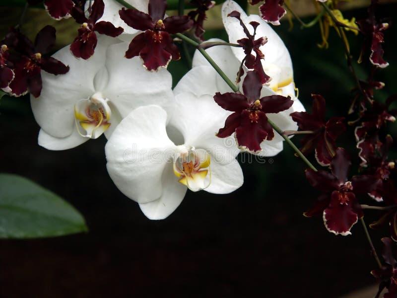 Download Orchids στοκ εικόνες. εικόνα από ανασκόπησης, πάσχα, ζωηρόχρωμος - 101030