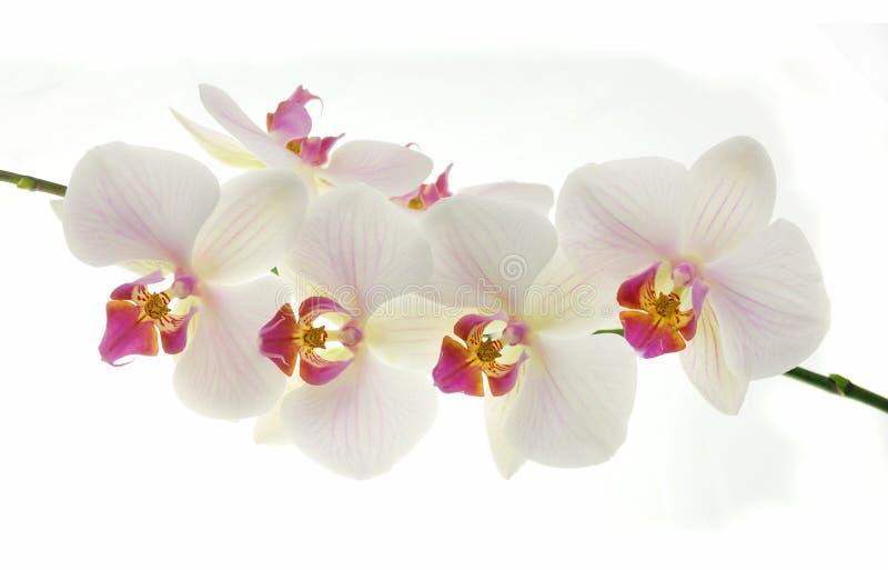 Orchids στοκ εικόνα με δικαίωμα ελεύθερης χρήσης