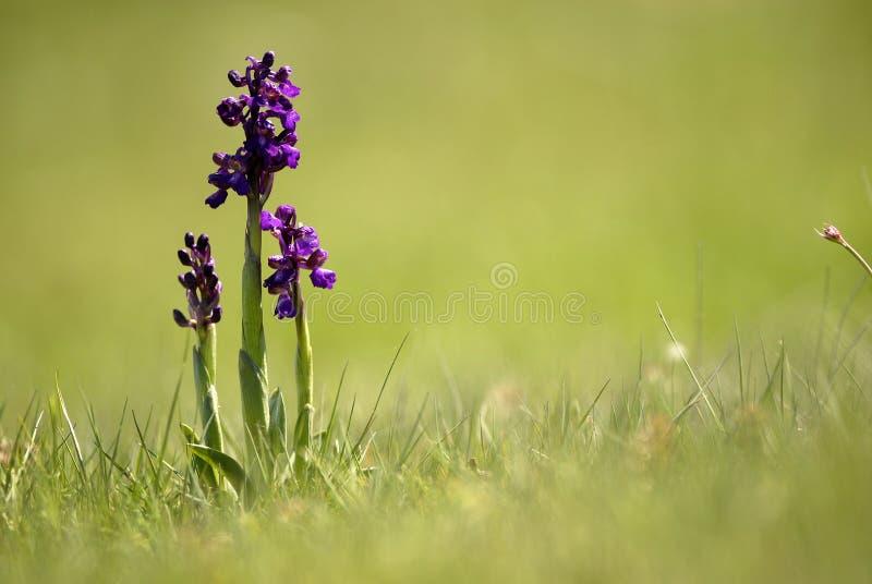 Download Orchids arkivfoto. Bild av växter, blomma, grönsaker - 19782070