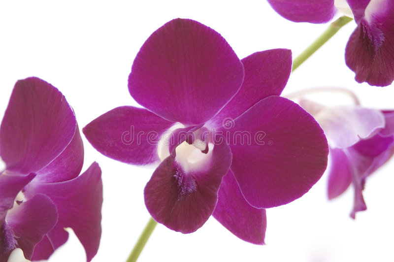 Download Orchids 2 stock image. Image of singapore, rare, flower - 73209