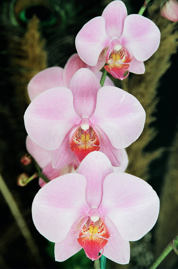 Free Orchids Royalty Free Stock Image - 2015386