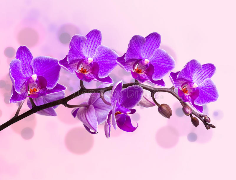 Download Orchids stock photo. Image of petal, nature, back, purple - 21778062