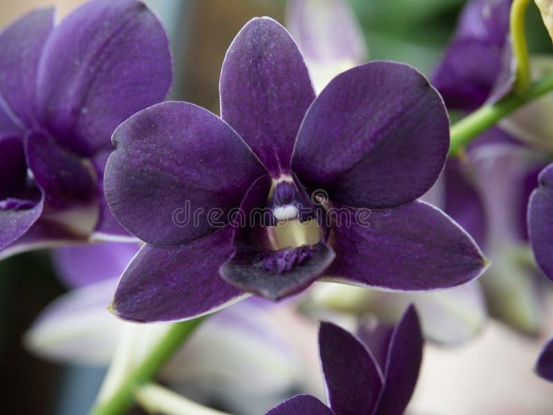 orchids royaltyfri bild