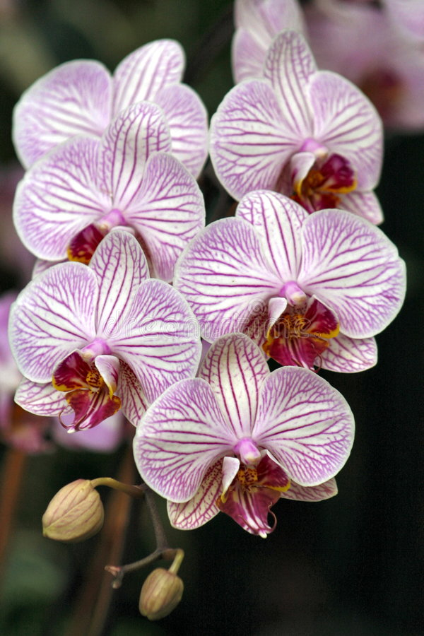 Orchids-6 photographie stock libre de droits