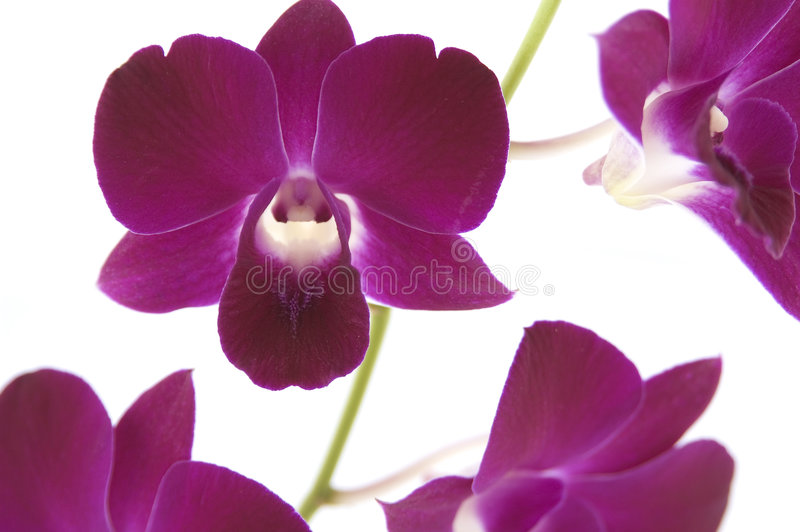 Download Orchids stock photo. Image of tropical, flower, over, orchids - 73210