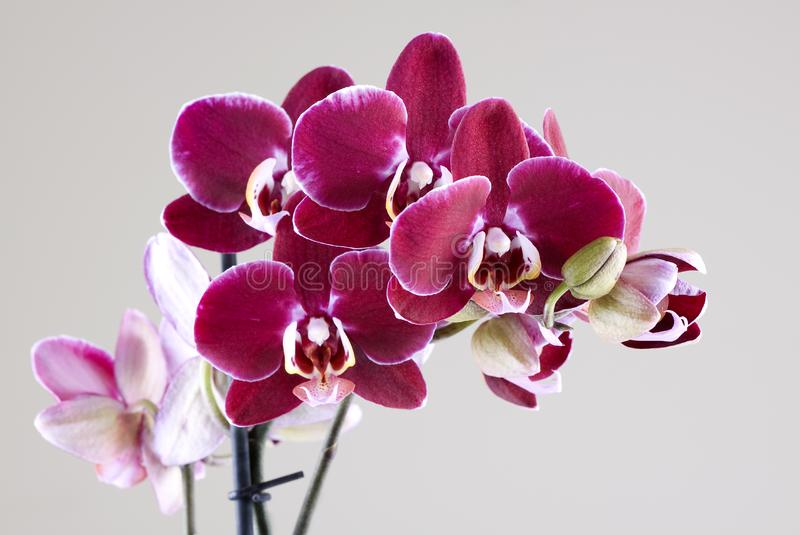 Download Orchids stock photo. Image of bamboo, macro, plant, beauty - 8219296