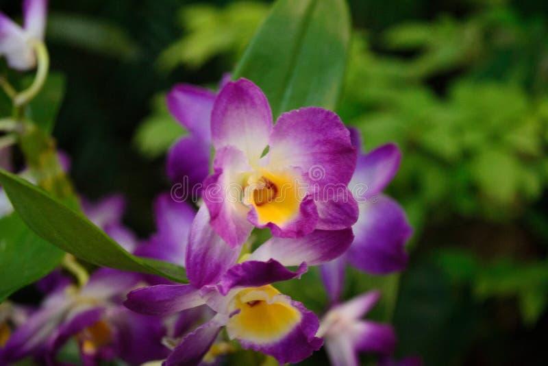 orchids immagini stock libere da diritti