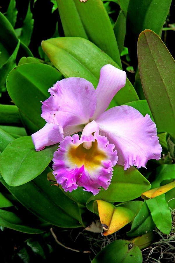 2 orchids arkivfoton