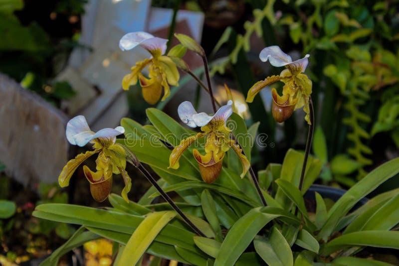 orchids fotografie stock