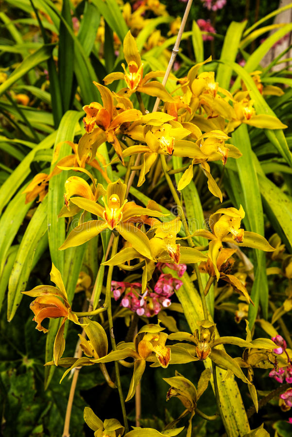 Orchids in a Beautiful Garden at Monte above Funchal Madeira. This wonderful garden is at the top of the cablecar from the seafront in Funchal. It is filled with royalty free stock photo