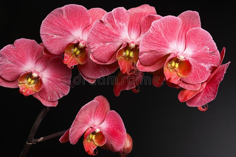 Orchids on black background close-up, red orchid on black background close up, red orchid flowers close-u. P, red orchid flowers studio photo stock images