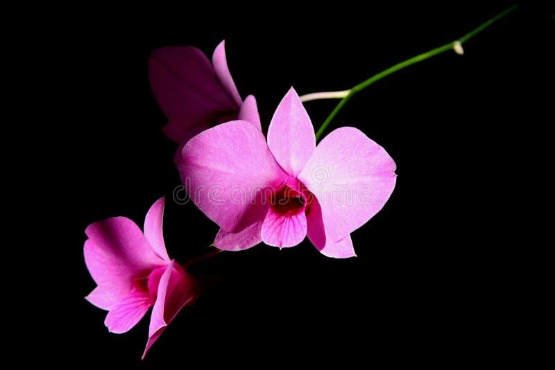 Orchids cor-de-rosa imagens de stock