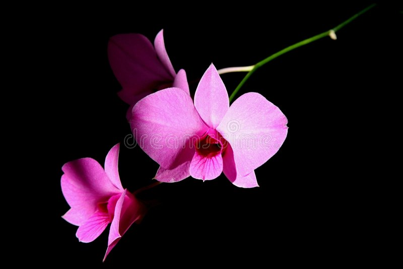Orchids dentellare immagini stock