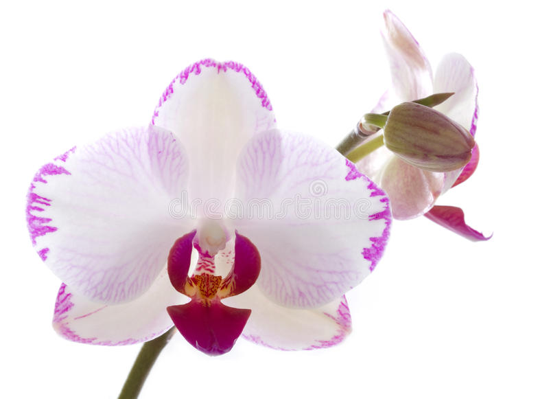 Orchids flowers orchid phalaenopsis flower. Isolated on white background stock photos