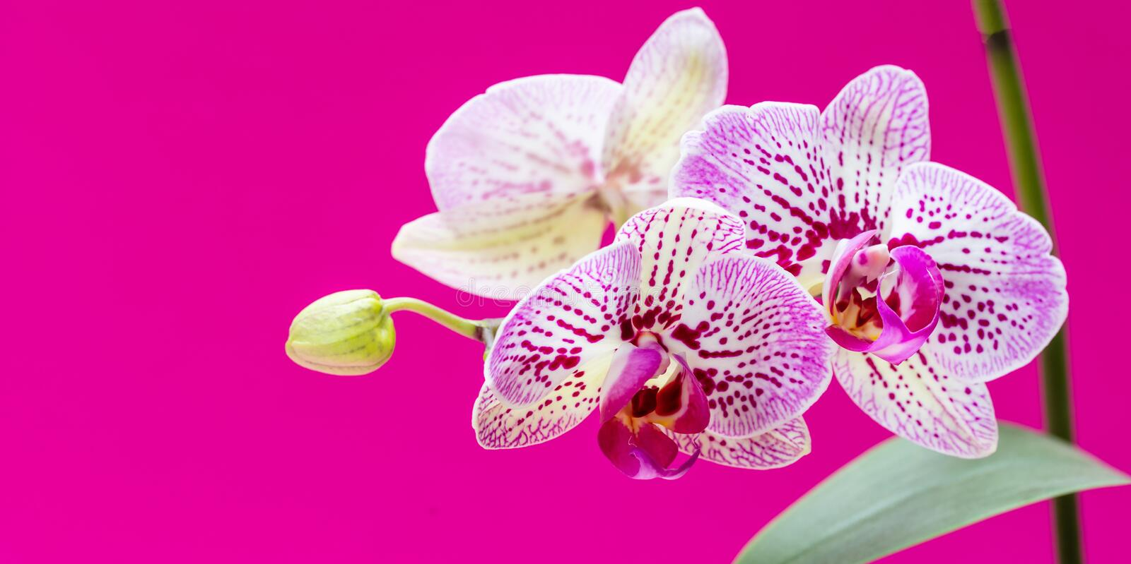 Orchids flowers purple white color closeup on bright pink royalty free stock photography