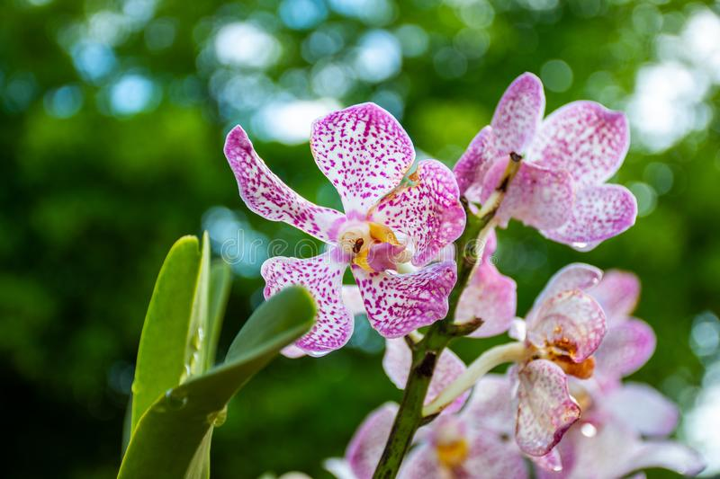 Orchids flowers with water drops royalty free stock image