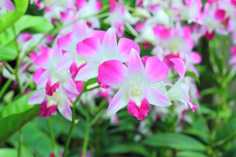 Orchids in the garden (Phalaenopsis Hybrid) stock photo