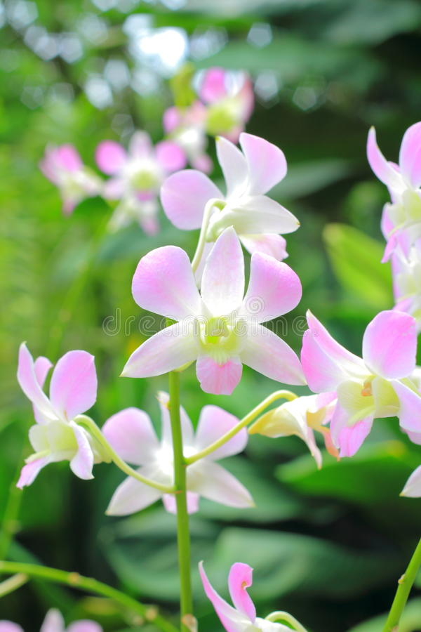 Orchids in the garden (Phalaenopsis Hybrid) stock image
