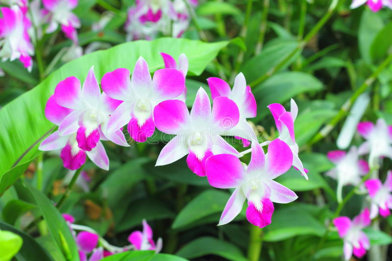 Orchids in the garden (Phalaenopsis Hybrid) royalty free stock photo