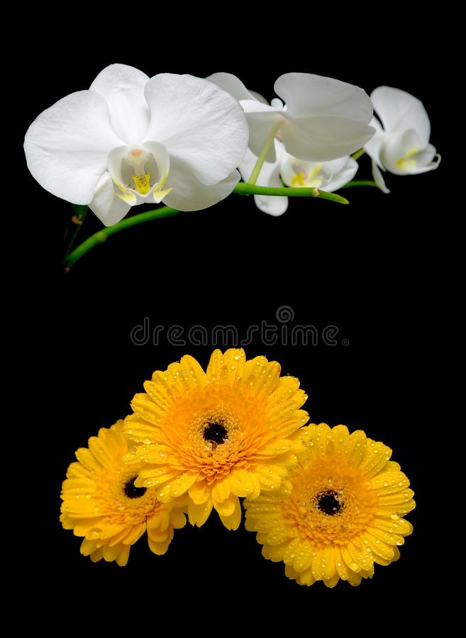 Orchids and gerbera on a black background royalty free stock photography