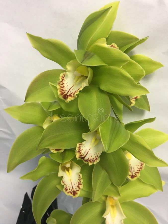 Attractive green orchids royalty free stock photos