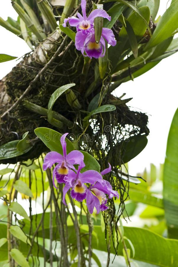 Orchids growing on a tree royalty free stock photos