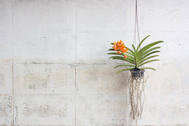 Orchids Grown In Plastic Pots Hanging On The Walls. stock photos