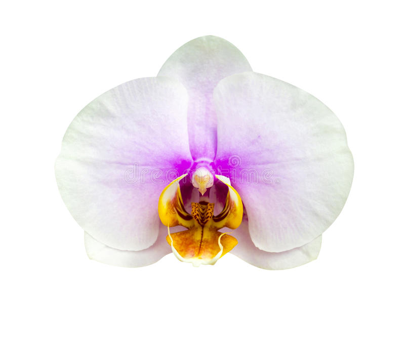 orchids Härlig orkidéblommaordning med grön backgrou arkivfoton