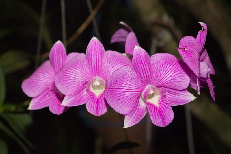 Beautiful Orchid, srilankan Orchid Farm,. Orchids are one of the highly loved flowers that represent luxury, beauty and strength royalty free stock photos