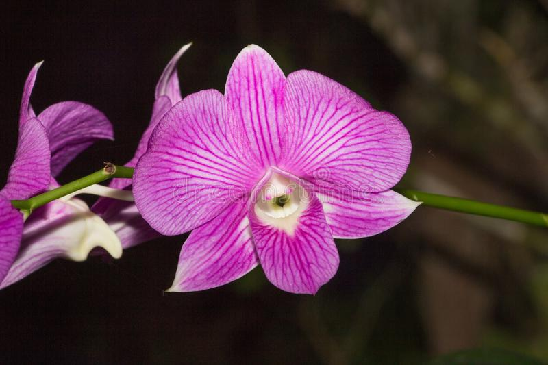 Beautiful Orchid, srilankan Orchid Farm, purpale flowers. Orchids are one of the highly loved flowers that represent luxury, beauty and strength royalty free stock photography