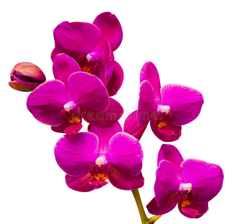 orchids orchid λουλουδιών στοκ φωτογραφίες με δικαίωμα ελεύθερης χρήσης