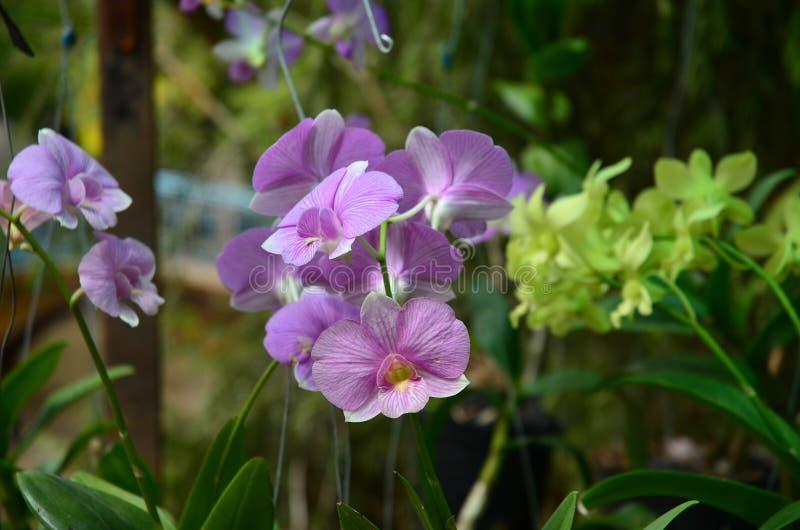 Orchids pink closeup. stock photography