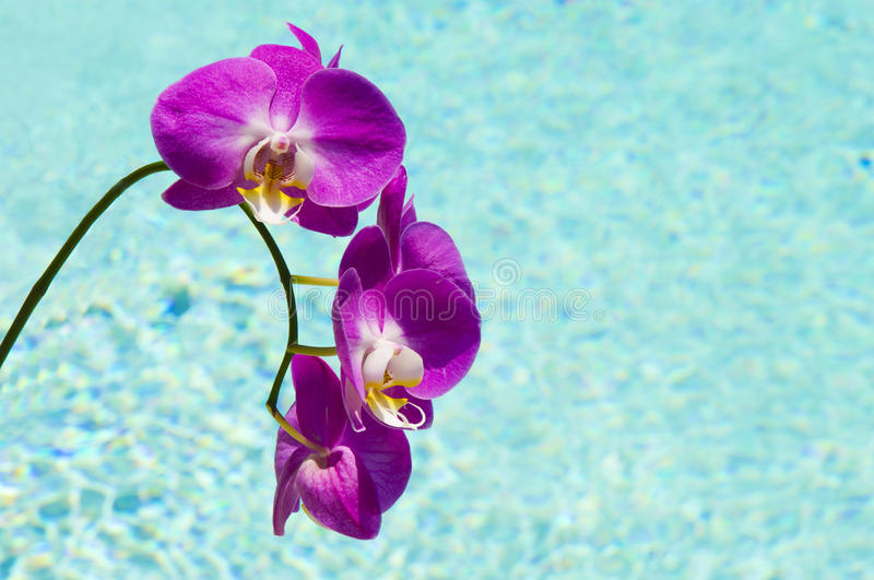 ORCHIDS BY THE POOL 2 royalty free stock image
