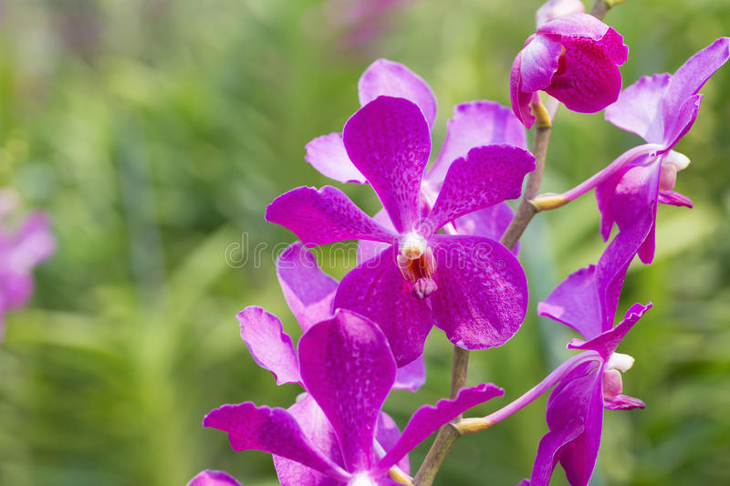 Orchids purple Is considered the queen of flowers in Thailand.  stock photos