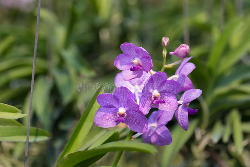 Orchids purple Is considered the queen of flowers in Thailand.  stock photo