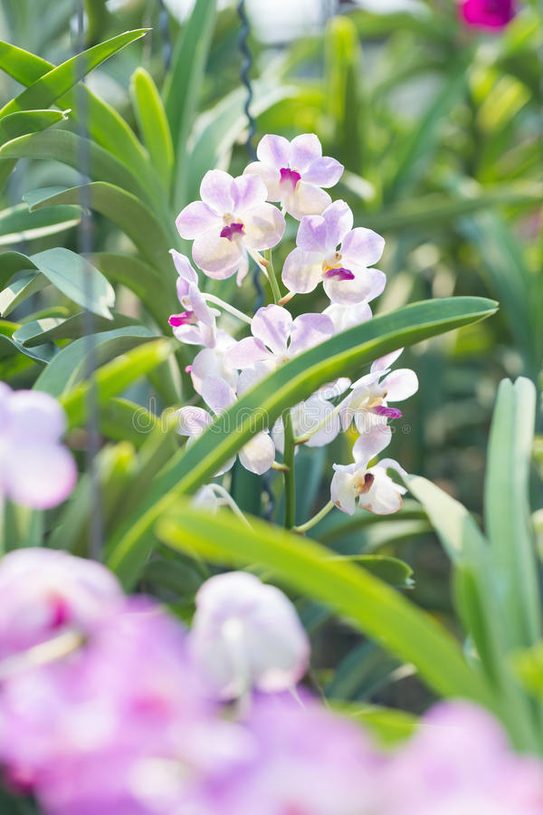 Orchids purple Is considered the queen of flowers in Thailand.  royalty free stock photos