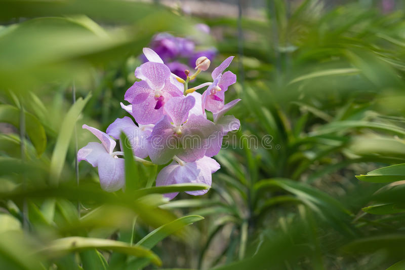 Orchids purple Is considered the queen of flowers in Thailand.  royalty free stock photo