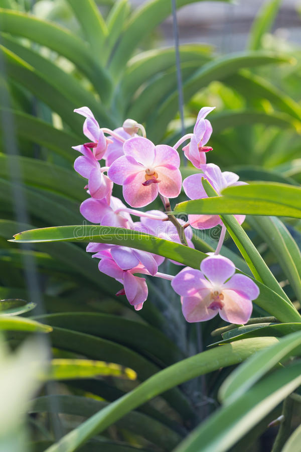 Orchids purple Is considered the queen of flowers in Thailand.  stock images
