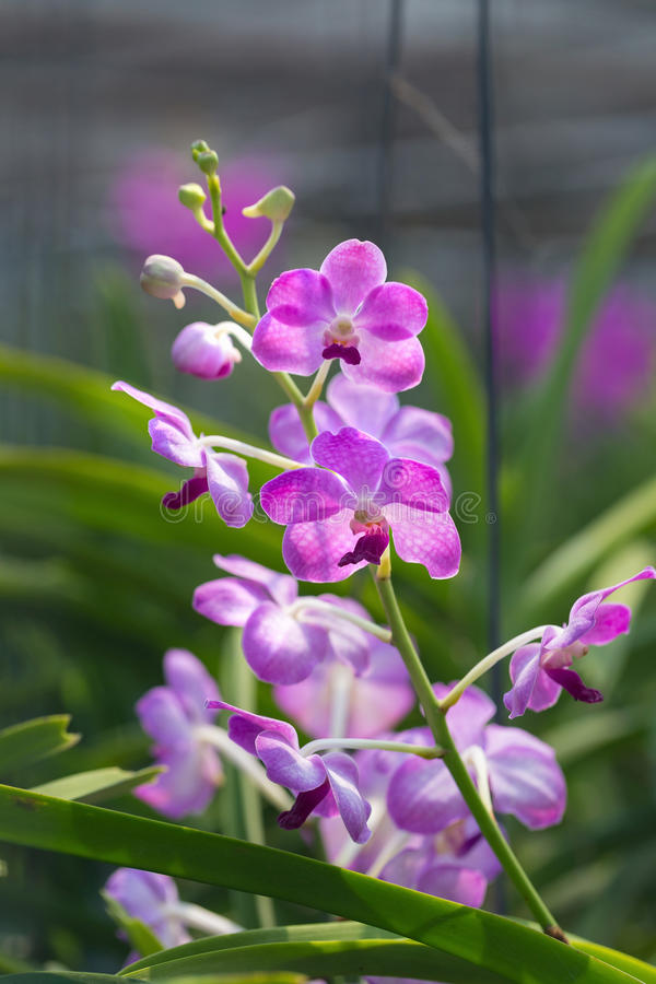 Orchids purple Is considered the queen of flowers in Thailand.  royalty free stock images