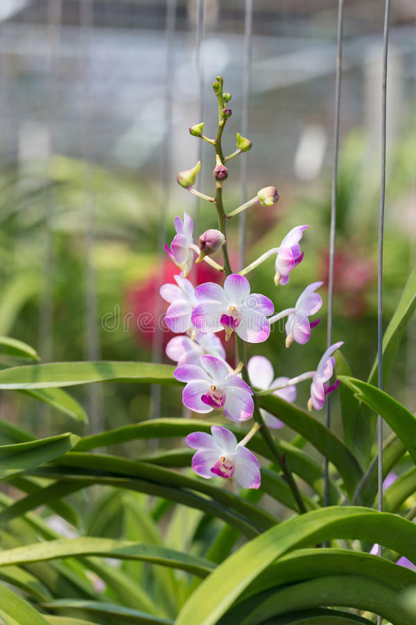 Orchids purple Is considered the queen of flowers in Thailand.  royalty free stock photography