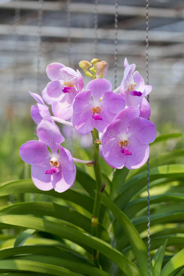 Orchids purple Is considered the queen of flowers in Thailand.  stock photography