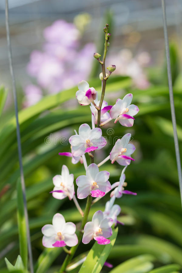 Orchids purple Is considered the queen of flowers in Thailand.  royalty free stock image