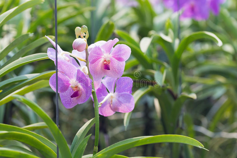 Orchids purple Is considered the queen of flowers in Thailand.  stock image