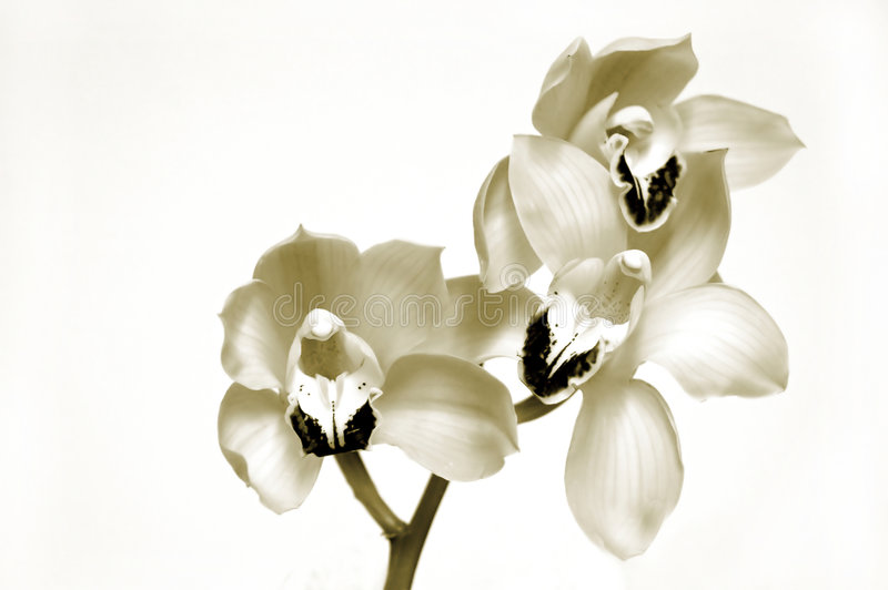 Orchids in Sepia royalty free stock images