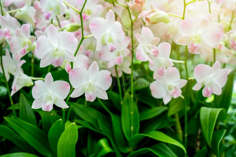 Orchids with sunshine at the garden stock photography
