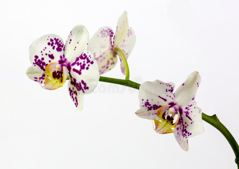 Orchids on White background. View of White Orchid with purple spots on a white background stock photography
